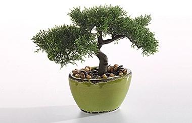 Vanya Bonsai